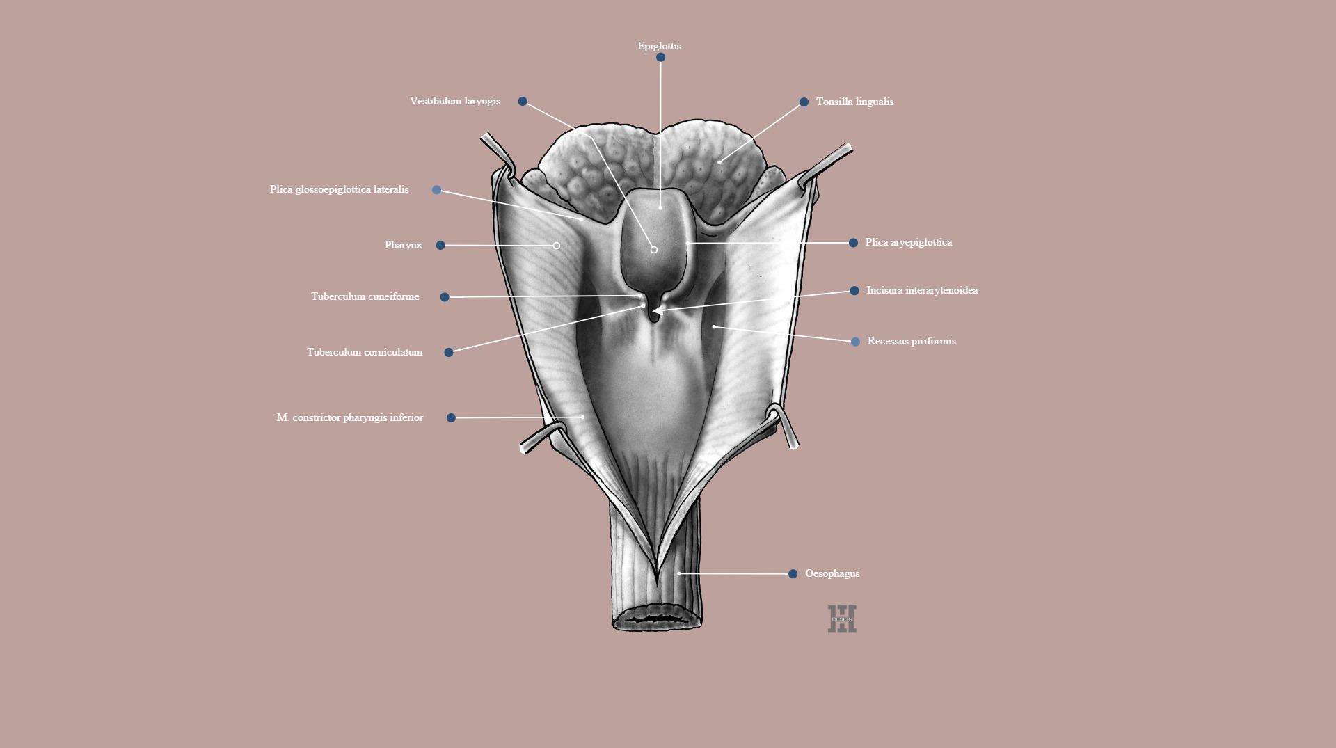 Aditus laryngis