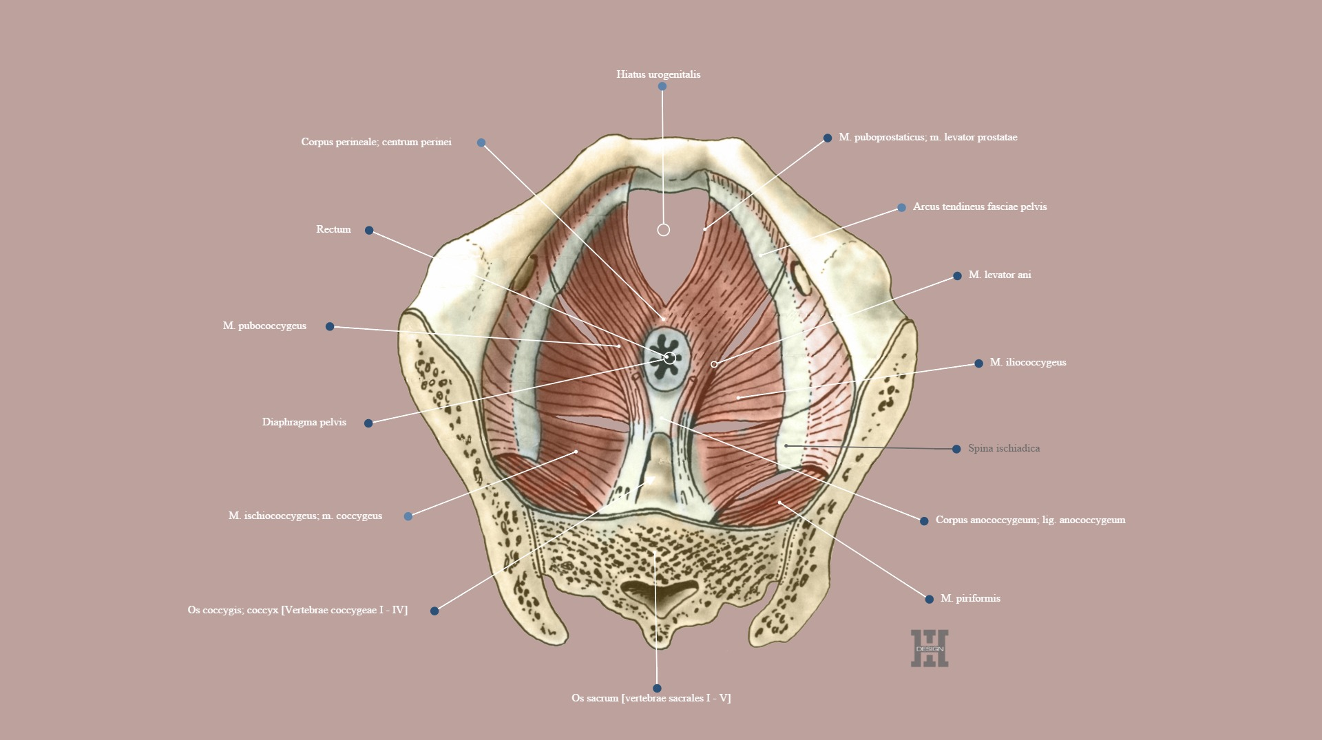 Muscles of pelvic floor, superior view