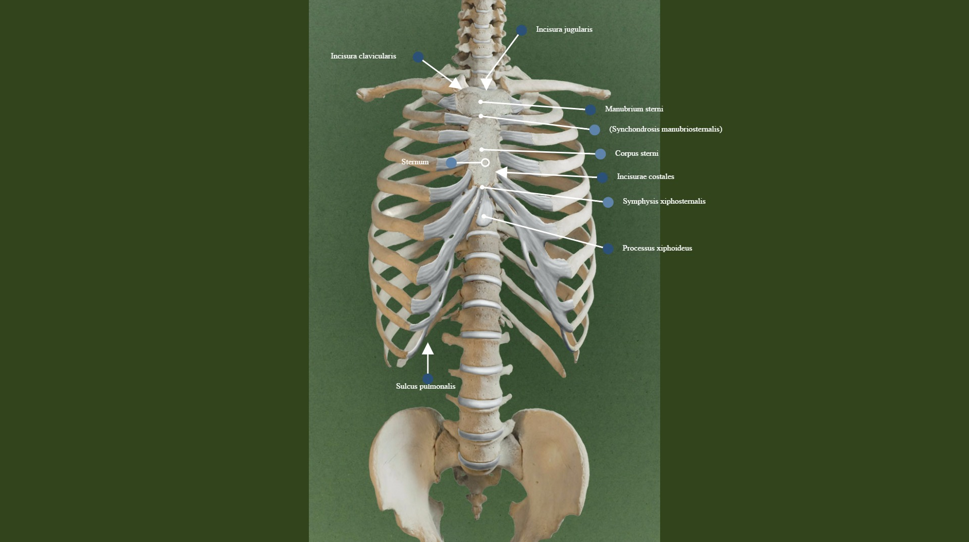 Anterior View Of The Thoracic Skeleton Learn about synchondrosis with free interactive flashcards. terminologia anatomica org