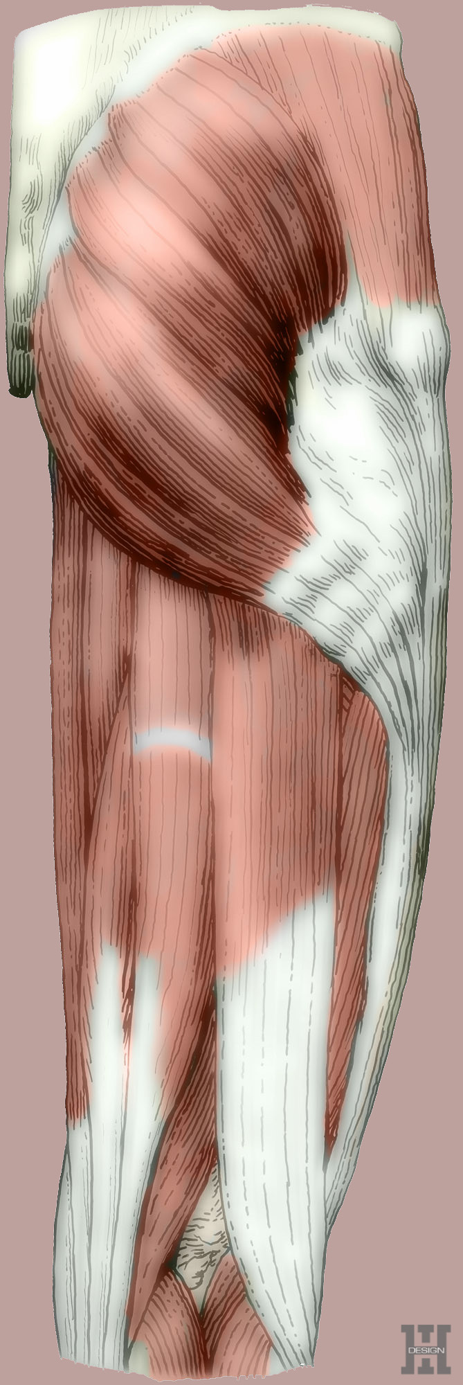 Muscles of hip and thigh, posterior view