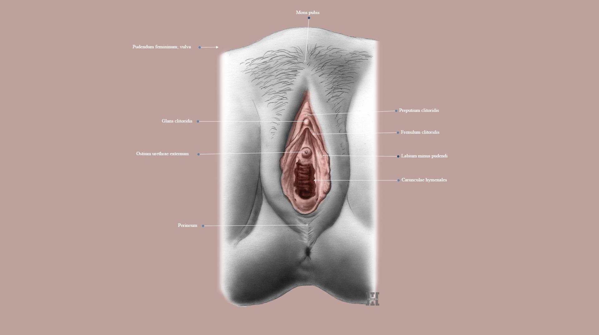 frenulum clitoridis